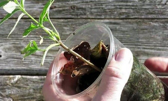 Бузина черная – ягода для джемов и ликеров