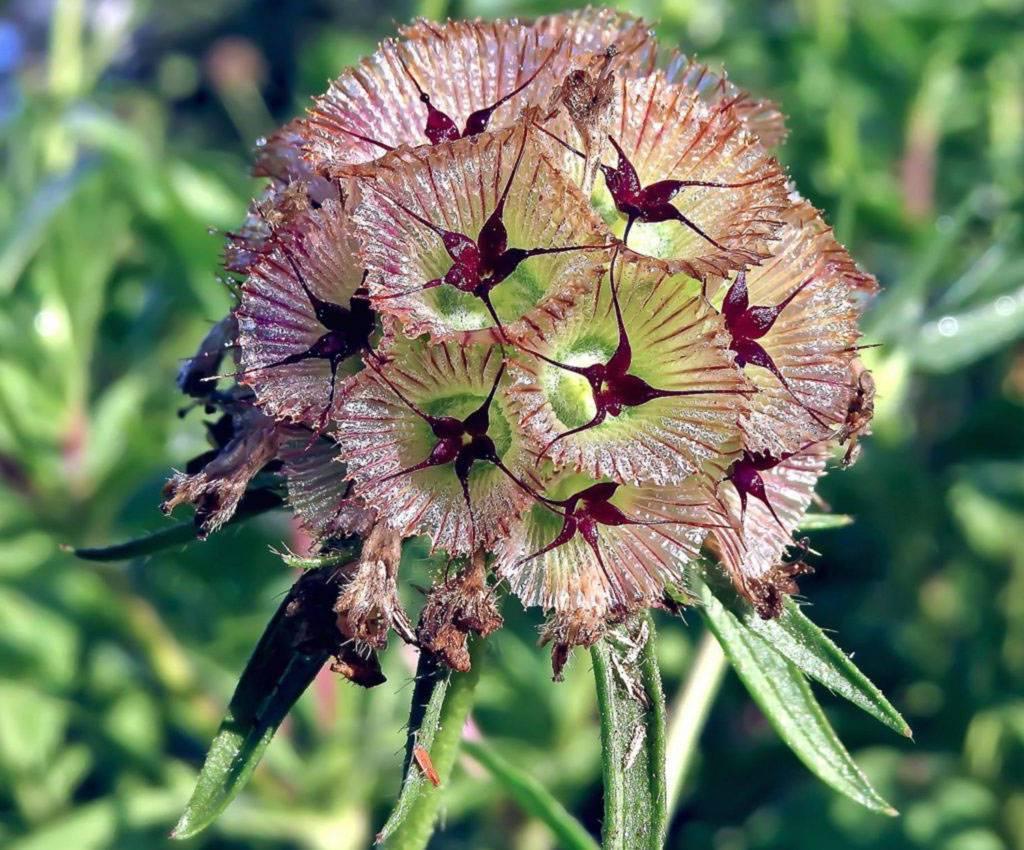«игольница» или скабиоза: посадка и уход в открытом грунте, фото и выращивание неприхотливой культуры на участке