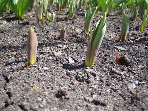 Размножение тюльпанов: пошаговое руководство с советами