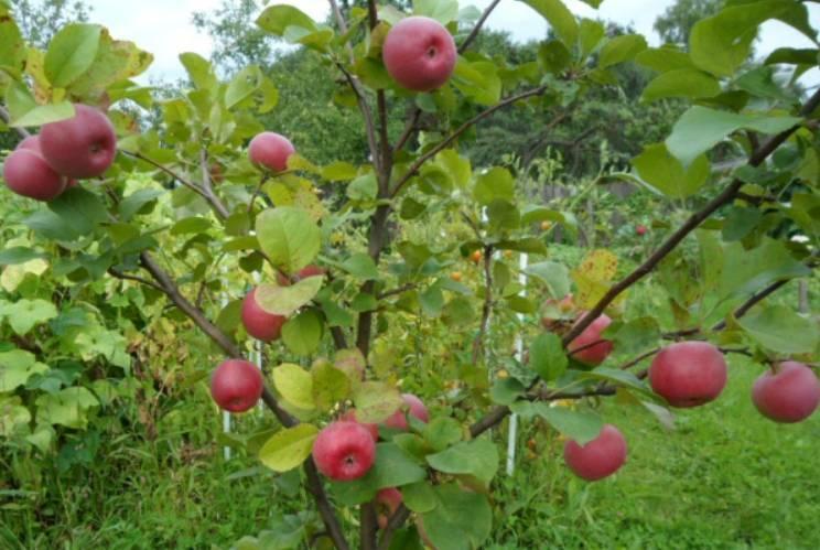 Характеристика яблони ауксис