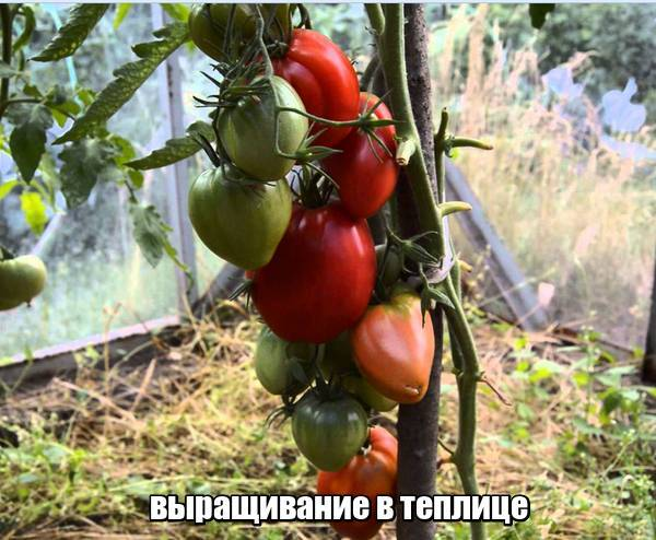 О преимуществах и недостатках гибрида томата «мазарини f1»