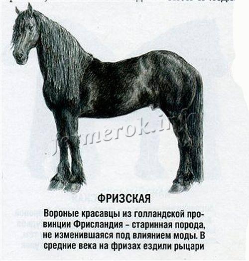 Фризская и голландская лошадь: особенности породы