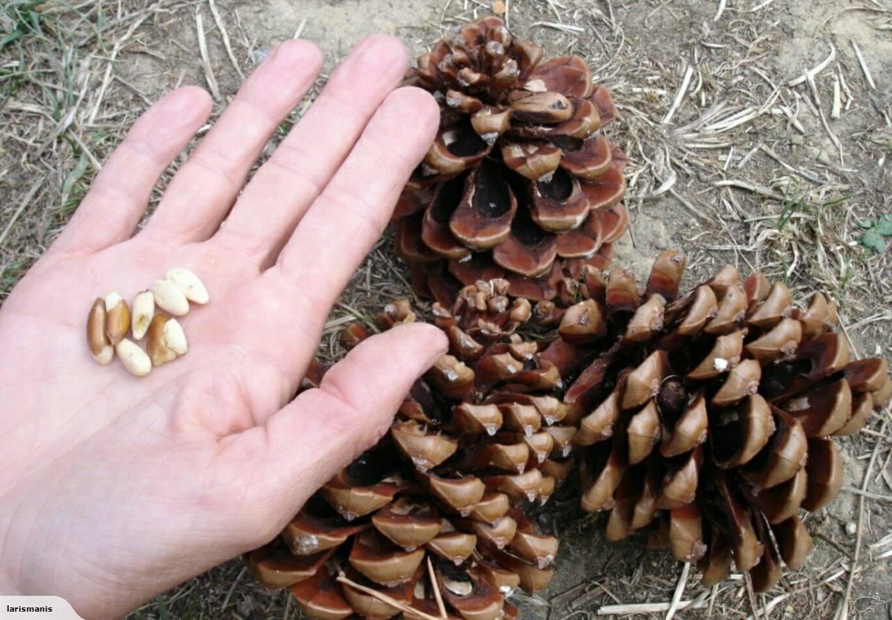 Когда созревают кедровые орехи в сибири