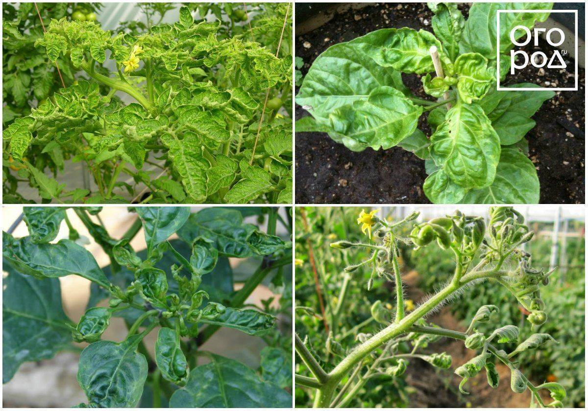 Почему у перцев желтеют листья: чем подкормить и как лечить
