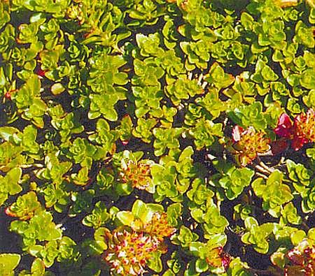 Седум (очиток) - посадка и уход в открытом грунте, виды и сорта с фото