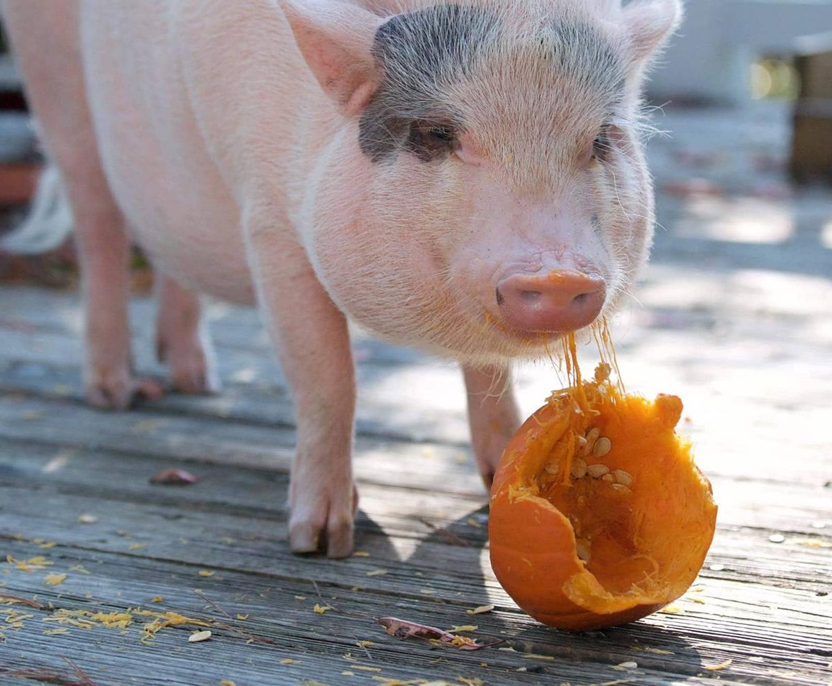 Мини-пиги: описание пород, правила ухода и кормления