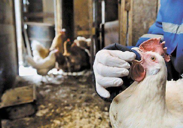 Глисты у кур – пути заражения, симптомы, лечение и профилактика