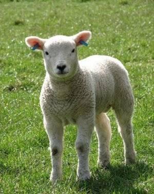 Овцы романовской породы: стандарты, кормление, разведение
