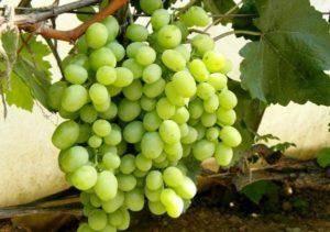 Описание винограда сорта таежный, правила посадки и ухода