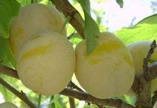Слива: характеристика сортов и особенности выращивания