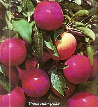 Описание сорта алычи Июльская Роза, опылители, посадка и уход