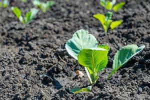 Плохо растет рассада капусты: что делать