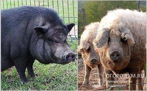 Описание лучших пород рыжих свиней и условия содержания, плюсы и минусы