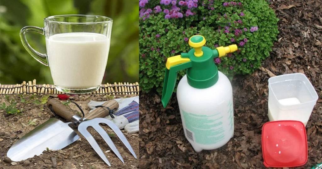 Польза и правила опрыскивания огурцов молоком с йодом