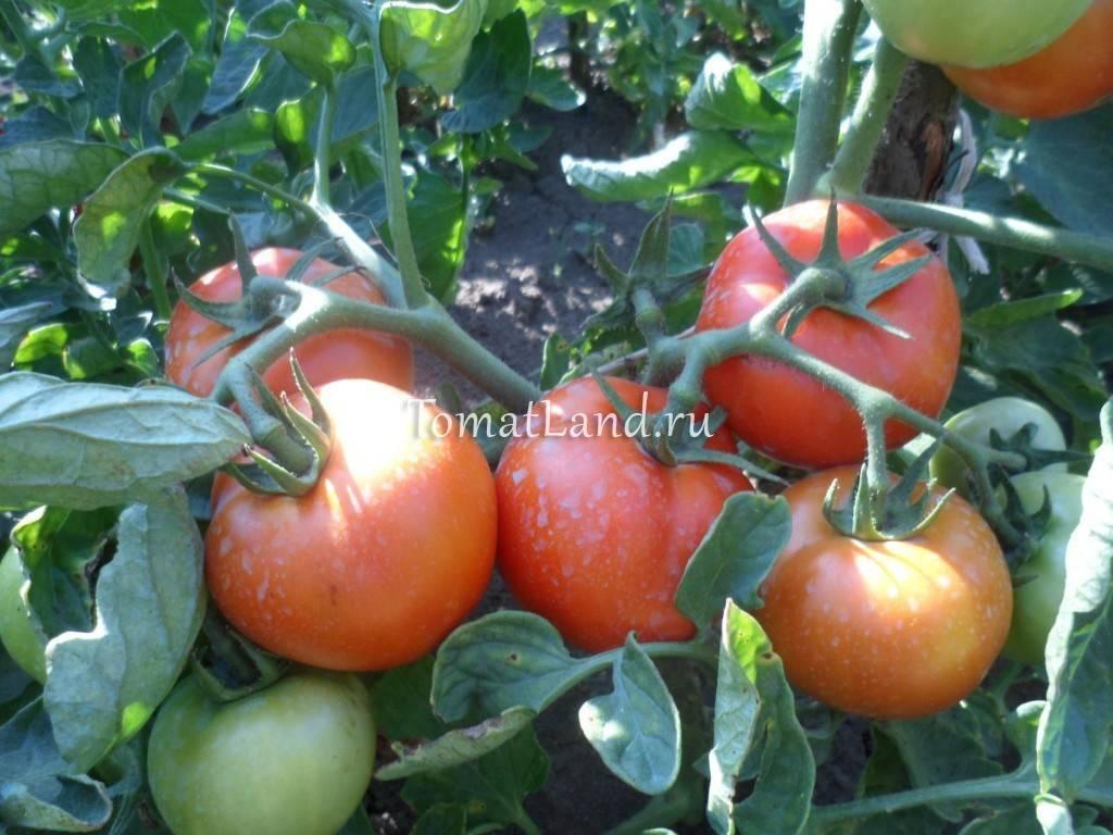 Томат санька - урожайность и характеристика сорта