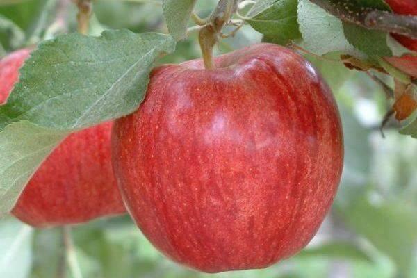 Яблоня китайка золотая: особенности сорта и ухода