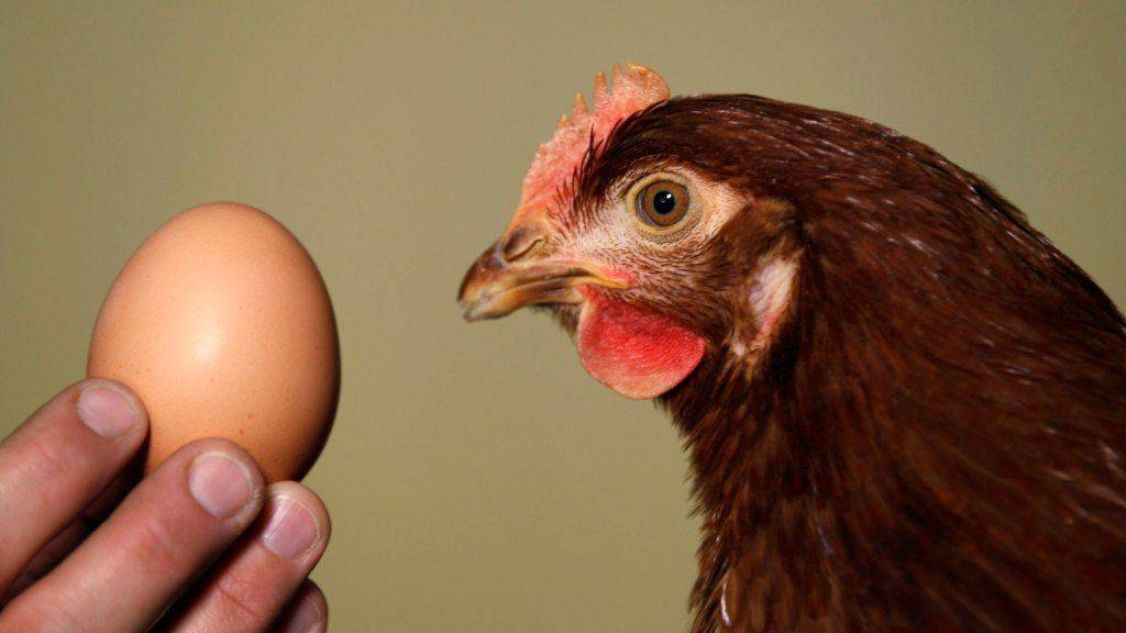 """Сроки """"годности"""" несушек – как долго несутся куры различных категорий и какое количество яиц в год они могут принести"""