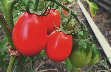 Томат финиш: характерные особенности сорта и рекомендации по выращиванию