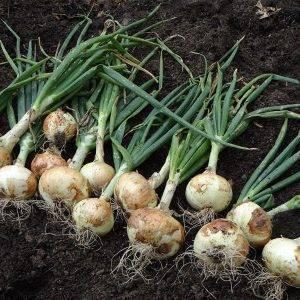 Характеристика и описание сорта лука шетана мс, выращивание и уход