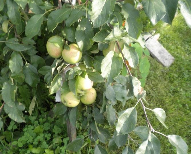 Урожайность яблони с дерева