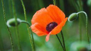 Птицемлечник: основные виды, советы по выращиванию