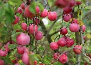 Сорт звездочка: описание, посадка и уход за яблоней