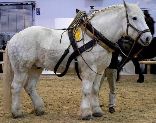 Характеристика и особенности содержания больших тяговых лошадей русской породы
