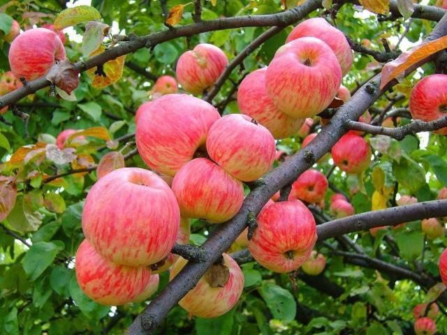 Яблоня ковровое — особенности сорта