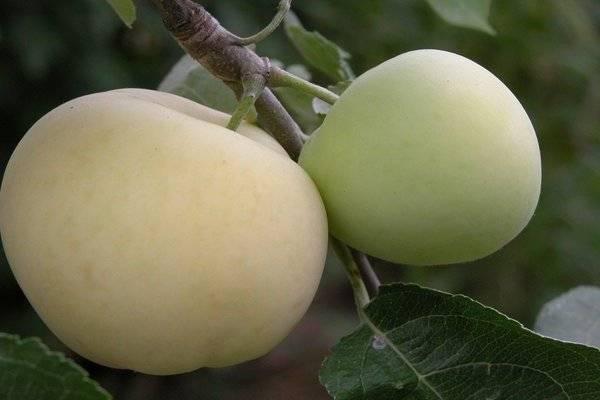 Яблоки Белый налив: описание и характеристики сорта, полезные свойства