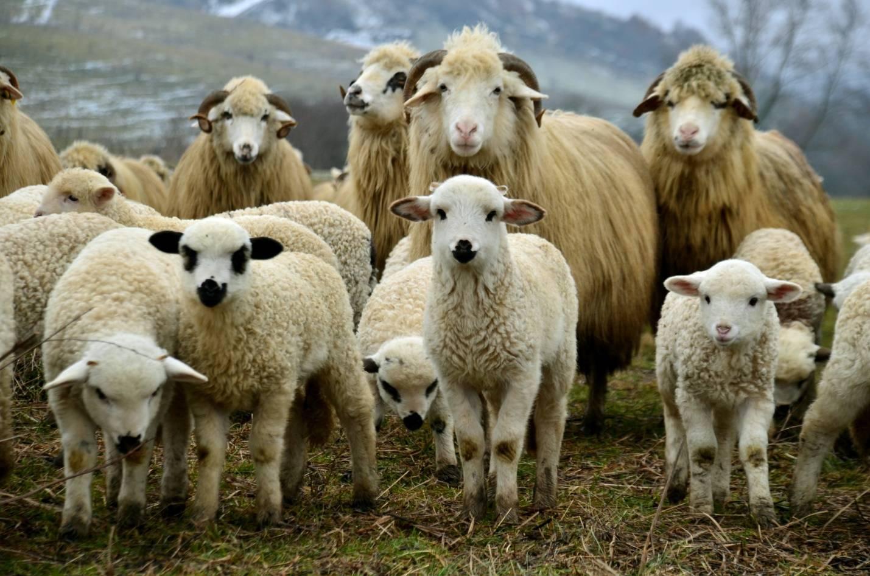 Болезни овец: симптомы, лечение и профилактика самых распространенных заболеваний. 70 фото и видео способов и методов лечения