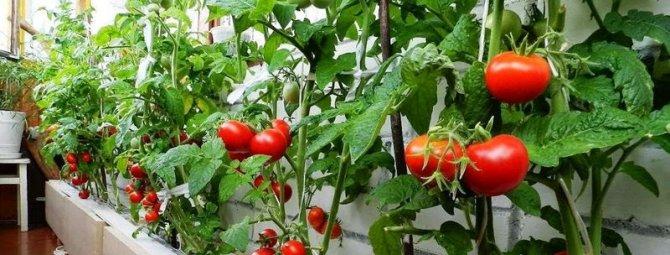 Томат пиноккио: отзывы, фото, урожайность, характеристика и описание сорта, достоинства и недостатки