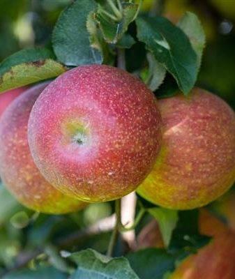Первая среди равных — яблоня сорта прима