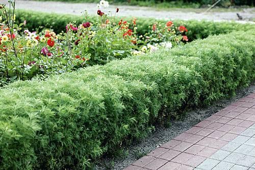 Выращивание полыни божье дерево на дачном участке — приятное занятие для новичков