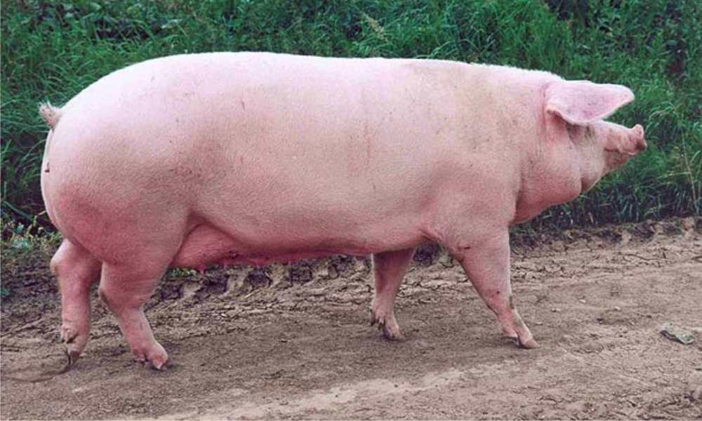 Описание и характеристики крупной белой породы свиней, содержание и разведение