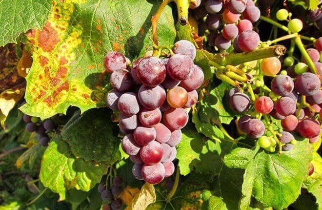 Болезни винограда и меры борьбы с ними