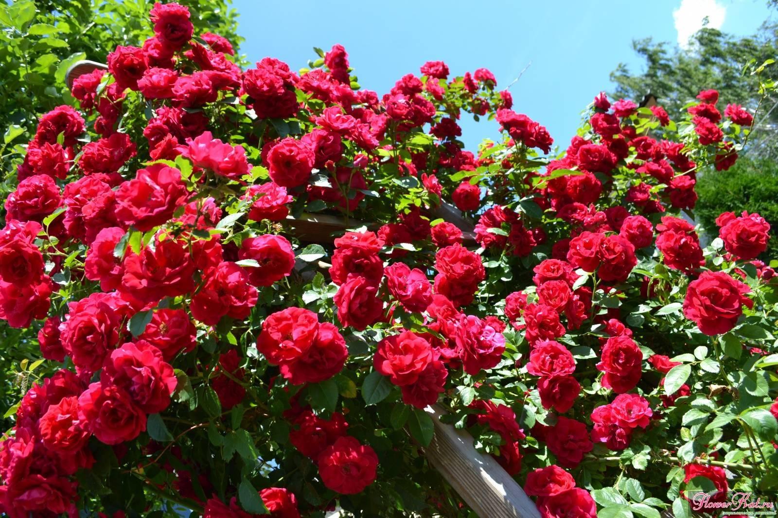 Описание и выращивание роз «фламентанц»