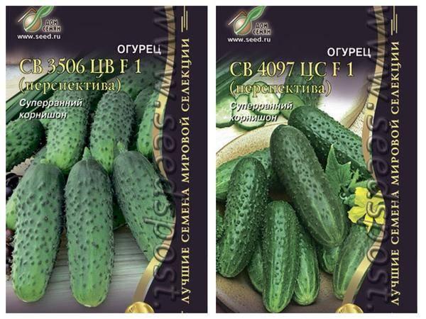 Гибридный сорт огурцов «св 4097 цв f1»: особенности выращивания и ухода