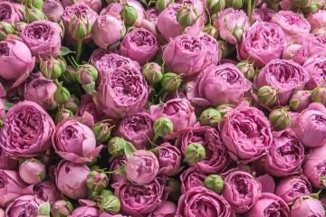 Роза флорибунда: посадка, уход, популярные сорта