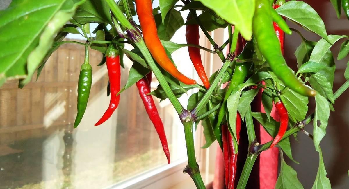 Перец огонек, чили на подоконнике: выращивание дома из семян, уход и формирование