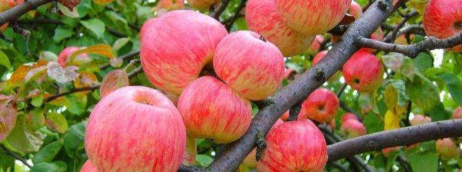 Десертная яблоня желанное