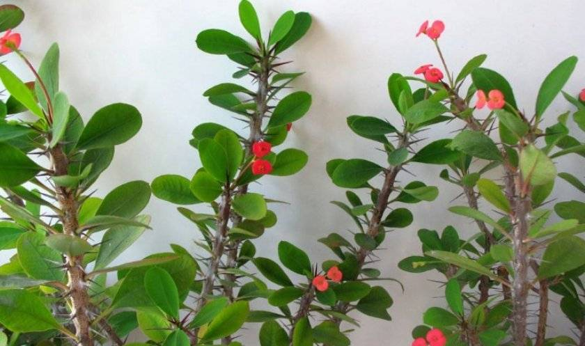 Молочай окаймленный посадка и уход выращивание из семян на рассаду когда сажать фото цветов в саду