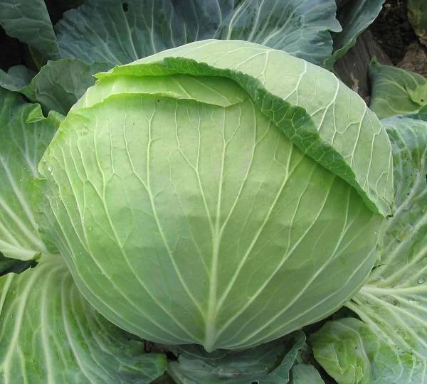 После чего можно сажать капусту и что можно садить после капусты