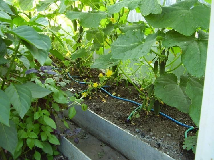 Марганцовка для помидоров — как использовать, особенности полива в саду и советы по приготовлению раствора (125 фото)