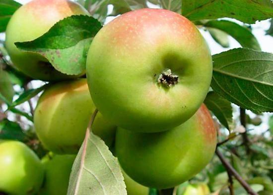 Сладкие как мёд: лучшие сорта яблонь для сибири