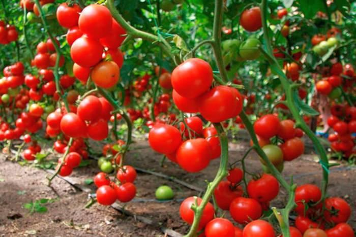 Подготовка почвы под томаты — в теплице и открытом грунте