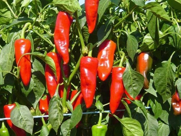 Горький перец чили: выращивание из семян, посадка и уход