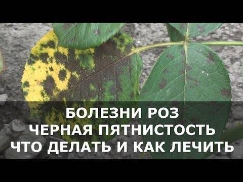 Черная пятнистость на розах: чем лечить
