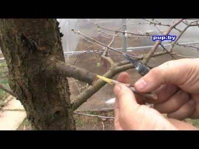 Правила прививания персика