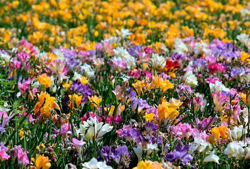 Посадка и выращивание розы фрезии