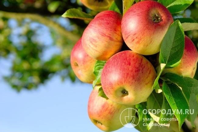 Яблоня «уэлси»: описание сорта, фото и отзывы